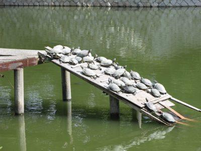 九華公園の亀